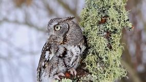 Eastern Screech Owl Video - close up. Eastern Screech owl amid a winter scene, perches on a lichen covered tree branch and turns its head stock footage
