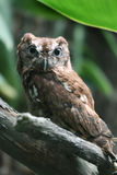 Eastern Screech Owl Wide Eyed. A captive eastern screech owl (Megascops asio) with wide open eyes and pulled back ear tufts Stock Images