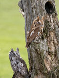 Eastern Screech Owls Royalty Free Stock Images