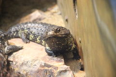Eastern shingleback. A eastern shingleback at a local zoo Stock Images