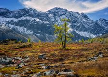 Larch in the mountains Royalty Free Stock Photography