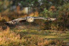 Eastern Siberian Eagle Owl, Bubo bubo sibiricus, flying through forest. Eastern Siberian Eagle Owl, Bubo bubo sibiricus, flying in forest royalty free stock photo