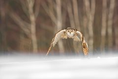 Eastern Siberian Eagle Owl flying in winter. Beautiful owl from Russia flying over snowy field. Winter scene with majestic rare ow. L royalty free stock photos