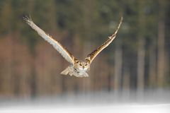 Eastern Siberian Eagle Owl flying in winter. Beautiful owl from Russia flying over snowy field. Winter scene with majestic rare ow. L royalty free stock image