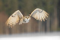 Eastern Siberian Eagle Owl flying in winter. Beautiful owl from Russia flying over snowy field. Winter scene with majestic rare ow. L Stock Image