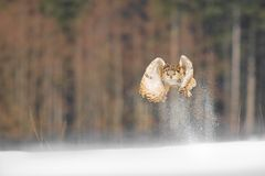 Eastern Siberian Eagle Owl flying in winter. Beautiful owl from Russia flying over snowy field. Winter scene with majestic rare ow. L Royalty Free Stock Photography
