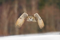 Eastern Siberian Eagle Owl flying in winter. Beautiful owl from Russia flying over snowy field. Winter scene with majestic rare ow. L Royalty Free Stock Photo