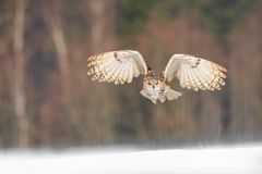 Eastern Siberian Eagle Owl flying in winter. Beautiful owl from Russia flying over snowy field. Winter scene with majestic rare ow. L Royalty Free Stock Images