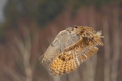Eastern Siberian Eagle Owl flying in winter. Beautiful owl from Russia flying over snowy field. Winter scene with majestic rare ow. L Stock Photos