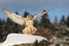 Eastern Siberian Eagle Owl land on rock hillock. Winter scene with majestic rare owl. Bubo bubo sibiricus. Eastern Siberian Eagle Owl, Bubo bubo sibiricus stock photos