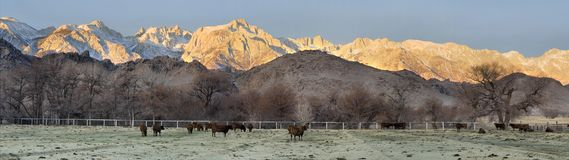 Eastern Sierra Dawn Panorama. Panoramic view of the eastern Sierra Nevada, cattle farm and Mt. Whitney at dawn in winter Stock Images