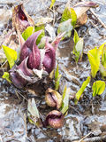 Eastern Skunk Cabbage Breaking Through Ice Royalty Free Stock Photo