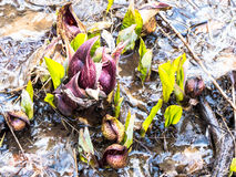 Eastern Skunk Cabbage Breaking Through Ice Stock Image