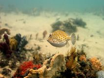 Eastern Smooth Boxfish Royalty Free Stock Images