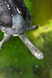 Eastern Snake-Necked Turtle - Australian Native. Eastern Snake-Necked Turtle - Chelodina longicollis - Australian Native Animal Royalty Free Stock Photo