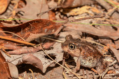 Eastern Spadefoot Toad Stock Photography