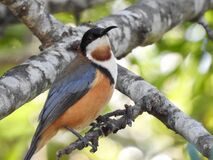 Eastern spinebill Royalty Free Stock Photography