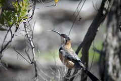 Eastern Spinebill Acanthorhynchus Tenuirostris in a tree Stock Images