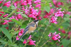 Eastern Spinebill delicate balance. A male Eastern Spinebill `Acanthorhynchus-tenuirostris` gripping delicately onto the stem of beautiful bright flowers. the Royalty Free Stock Images