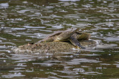 Eastern Spiny Softshell Turtle Royalty Free Stock Photography