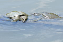Eastern Spiny Softshell Turtles Royalty Free Stock Image