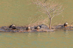 Eastern spot-billed ducks on a man-made island Royalty Free Stock Image