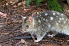 Eastern Spotted Quoll. A small Australian marsupial, the Eastern Spotted Quoll Royalty Free Stock Photo
