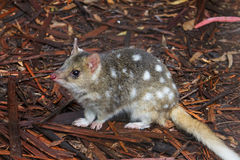 Eastern Spotted Quoll. A small Australian marsupial, the Eastern Spotted Quoll stock photography