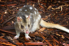 Eastern Spotted Quoll. A small Australian marsupial, the Eastern Spotted Quoll stock image