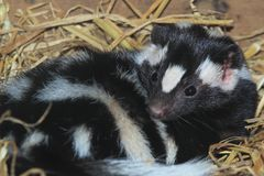Eastern Spotted Skunk Royalty Free Stock Photos