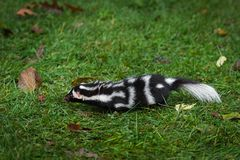 Eastern Spotted Skunk Spilogale Putorius Moves Left On Grass Stock Photo