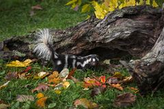 Eastern Spotted Skunk Spilogale Putorius Tail Up By Log Stock Photo