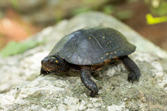 Eastern Spotted Turtle Stock Images