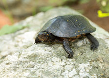 Eastern Spotted Turtle Stock Photos