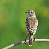 Eastern Stonechat Royalty Free Stock Images