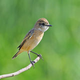 Eastern Stonechat Stock Photography