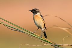 Eastern Stonechat Saxicola stejnegeri Cute Male Birds of Thailand. Eastern Stonechat Saxicola stejnegeri Cute Male Bird of Thailand Royalty Free Stock Images