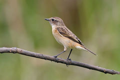 Eastern Stonechat Saxicola stejnegeri Female Cute Birds of Thailand Stock Images