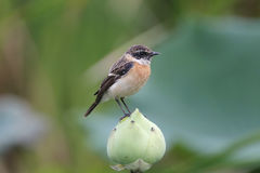 Eastern Stonechat Saxicola stejnegeri Male Cute Birds on the Lotus. Eastern Stonechat Saxicola stejnegeri Male Cute Bird on the Lotus Royalty Free Stock Image