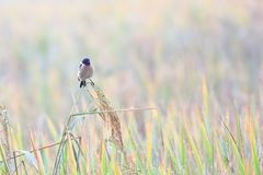 Eastern Stonechat is winter visitor bird to thailand stock photography