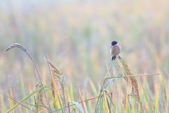 Eastern Stonechat royalty free stock photo