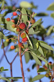 Eastern Strawberry-tree Fruit. Eastern Strawberry-tree - Arbutus andrachne Royalty Free Stock Photo