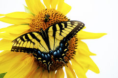 Eastern Swallowtail Butterfly and bee sitting on a yellow sunflower. Royalty Free Stock Photography
