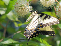 Eastern Swallowtail Butterfly on Button Bush. This is an Eastern Swallowtail Butterfly feediing on the nectar a flower on a Button Bush stock photos