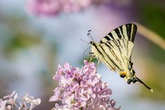 Eastern swallowtail butterfly Papilio glaucus on lilac bush fl royalty free stock photos