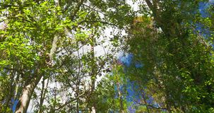 Looking up at Maple trees with Spanish moss. Video Looking up at Maple trees with Spanish moss stock video