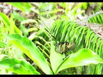 Eastern Swallowtail butterfly resting 2 stock footage