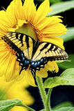 Eastern Swallowtail Butterfly works on a yellow Sunflower Bloom. Stock Photo
