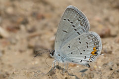 Eastern Tailed Blue Butterfly Stock Photos