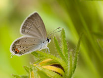 Eastern Tailed-Blue butterfly, Everes comyntas Stock Image